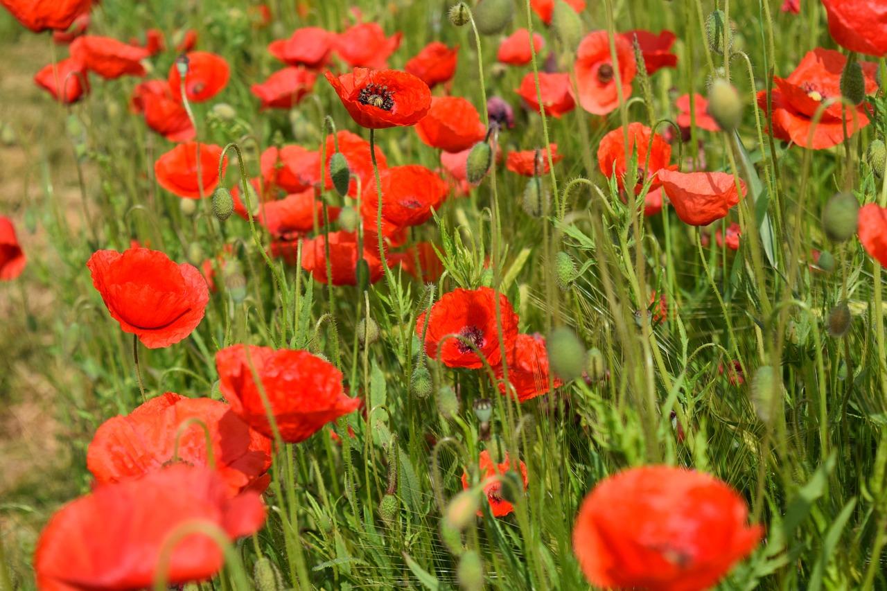 Poppyklatschmohnredpoppy Flowerfield Of Poppies Free Photo