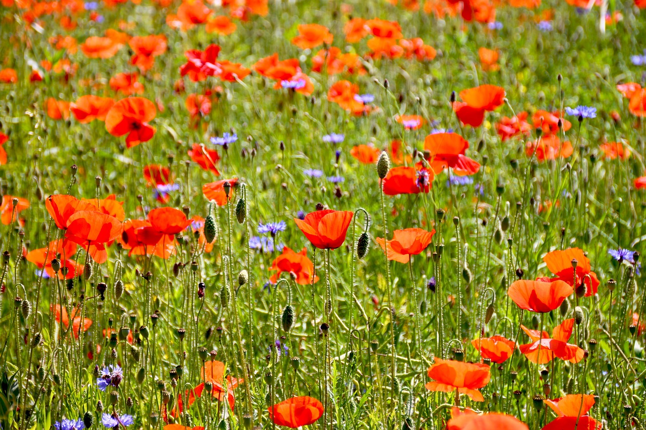 Poppy,flowers,field,nature,field of poppies - free photo