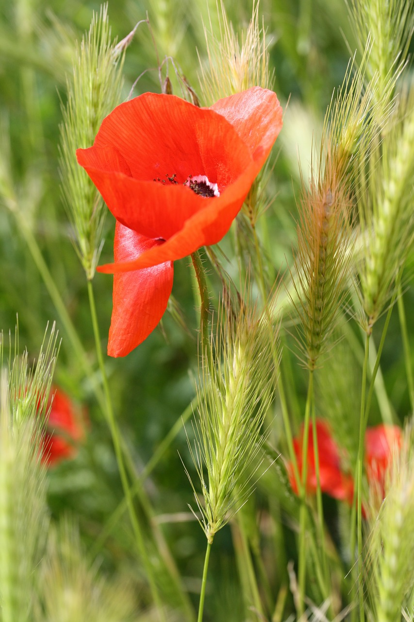 poppy corn flower red free photo