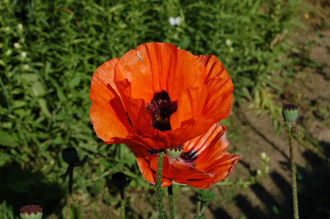 Poppyflowerpoppy Flowerwild Flowerfree Photos Free Photo From