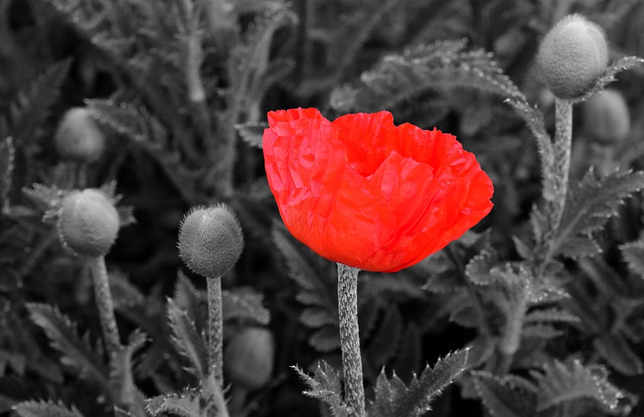 Poppypoppy Flowerflowerred Poppyred Free Photo From Needpix
