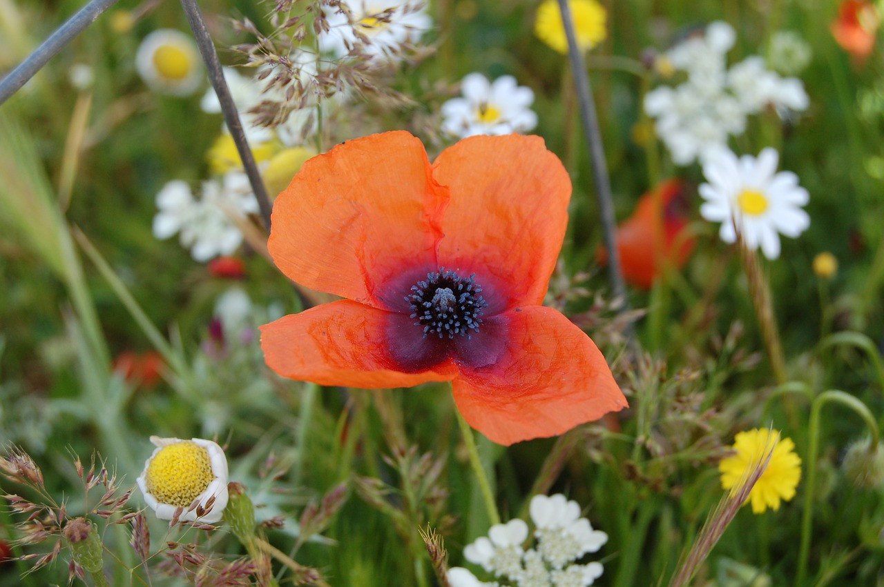 Poppyflowerwild Flowerspringplant Free Photo From Needpix