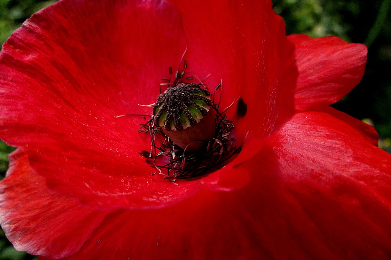 poppy  red  red flower free photo