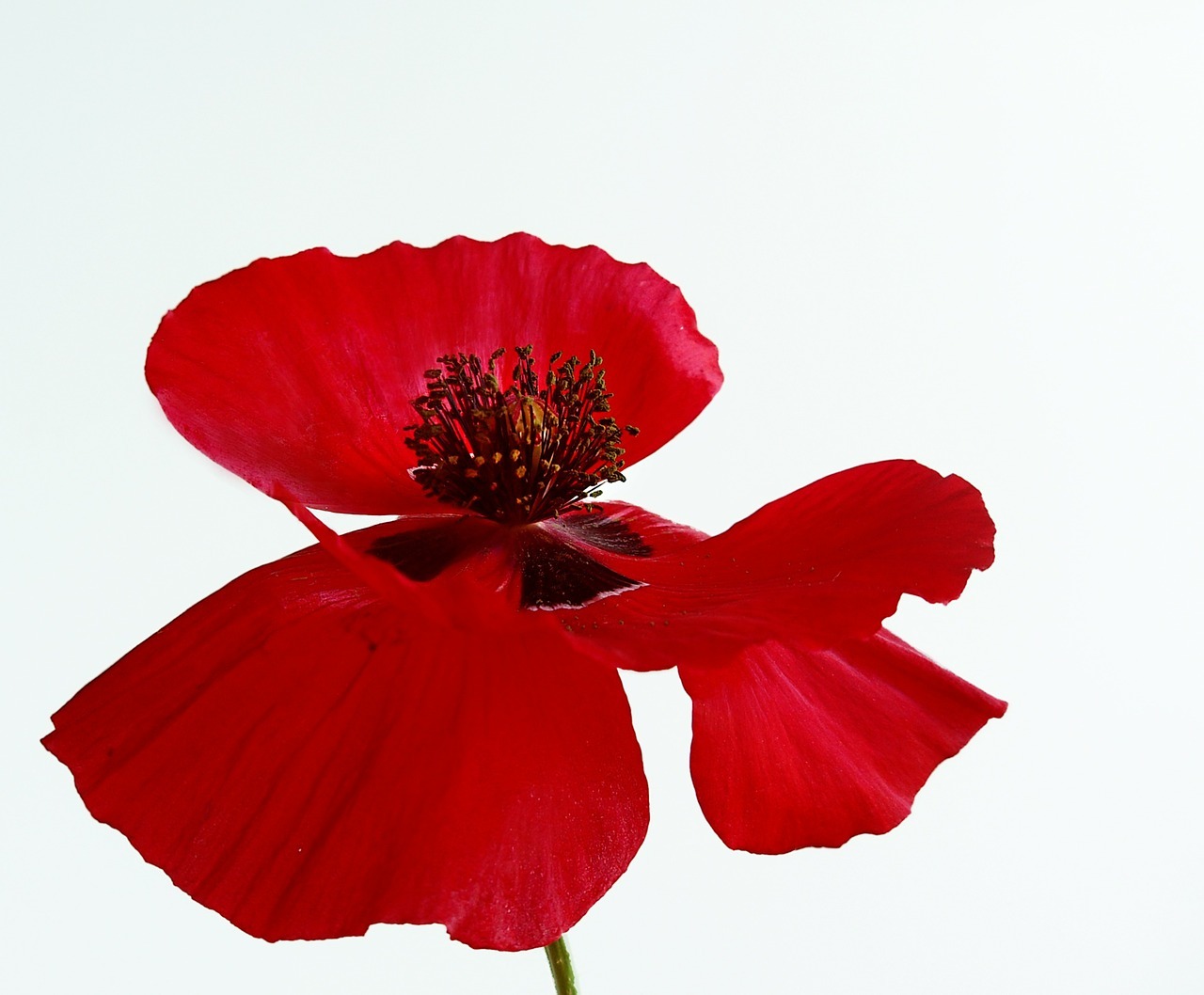 poppy flower blossom free photo