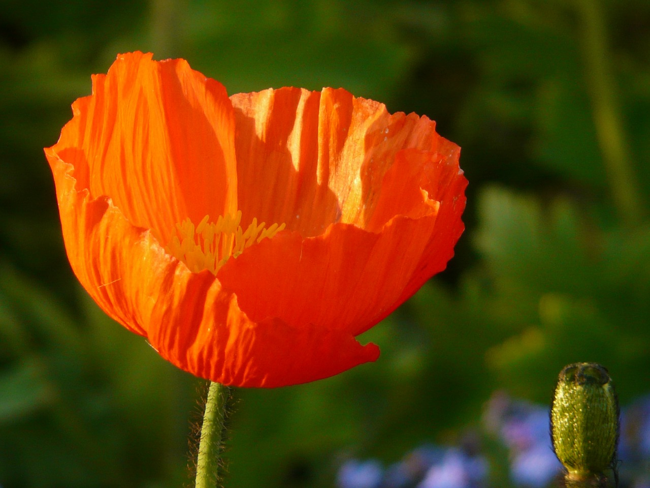 poppy klatschmohn medicinal plant free photo
