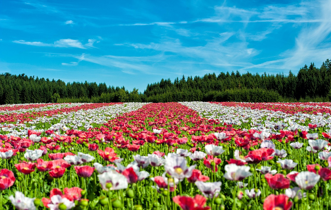 poppy field of poppies flower free photo