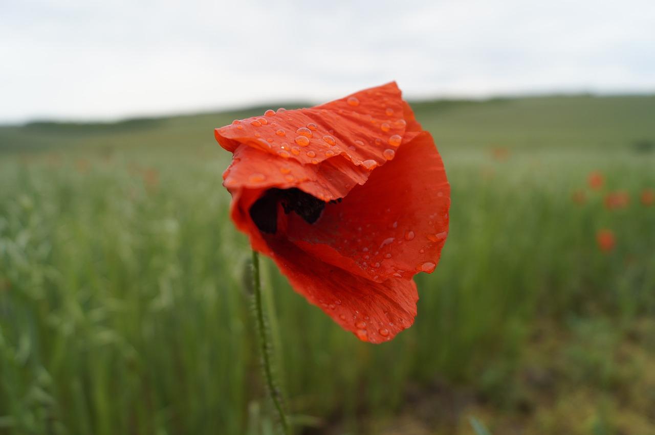 Poppyredmeadowmeadow Flowerflower Free Photo From Needpix