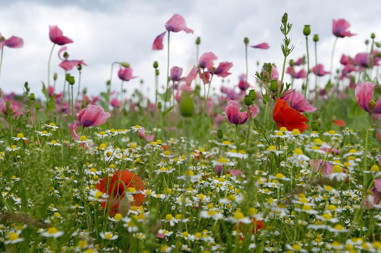 Poppymeadowwildflowerssummer Meadowsummer Free Photo From