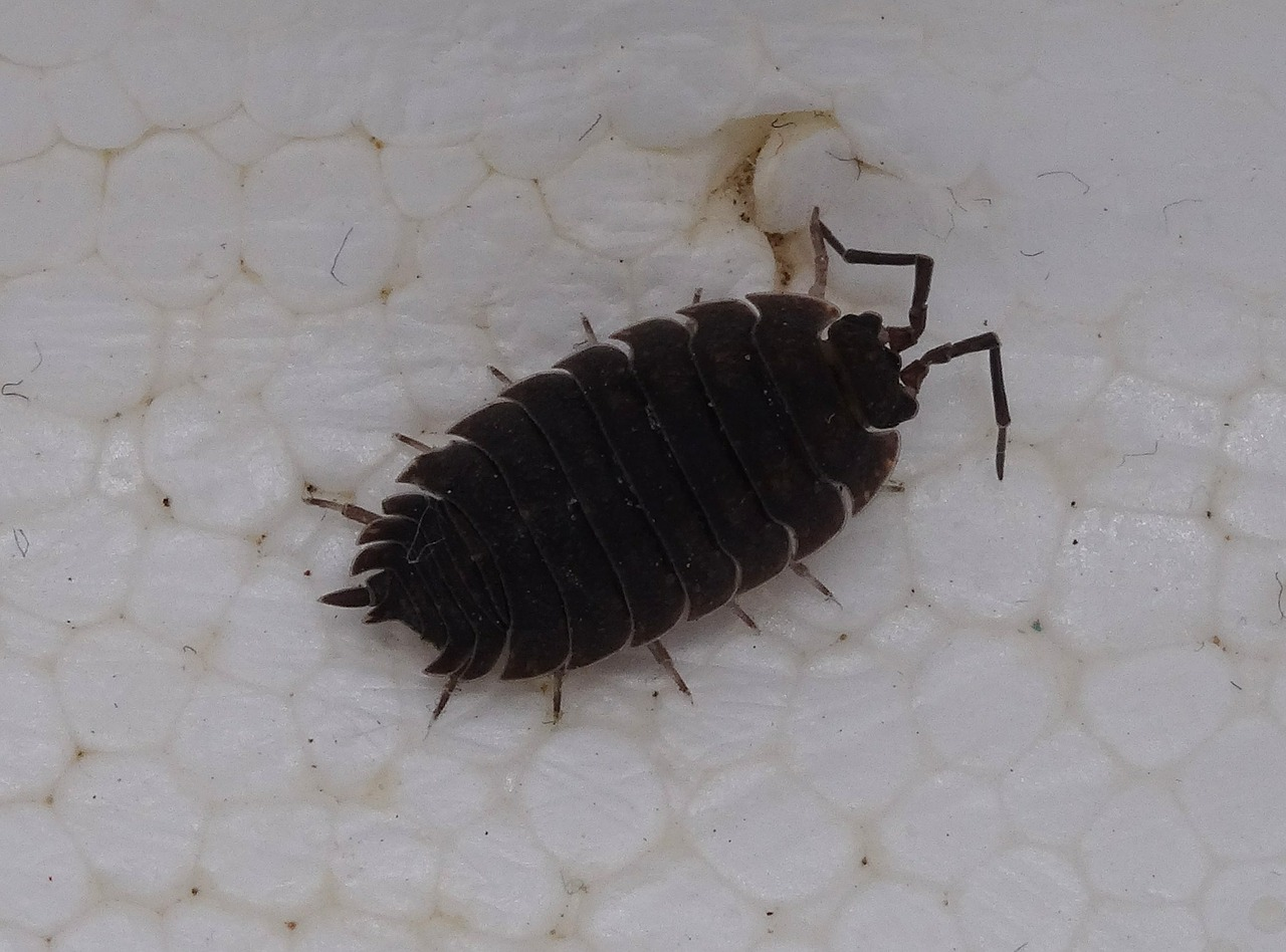 porcellio scaber assel terrestrial isopod free photo