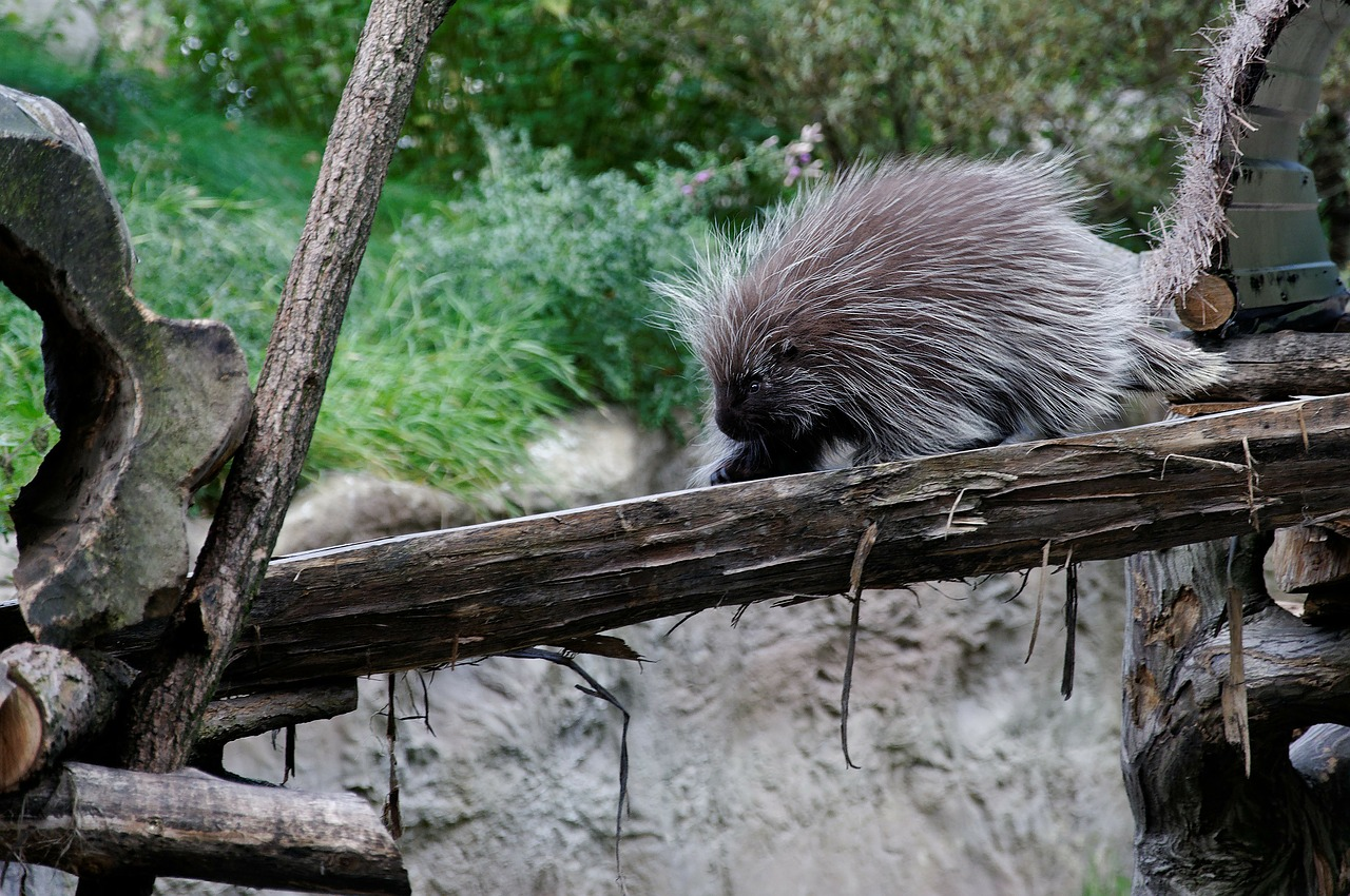 porcupines,porcupine,log,enclosure,animal,zoo,zoom gelsenkirchen,free pictures, free photos, free images, royalty free, free illustrations, public domain