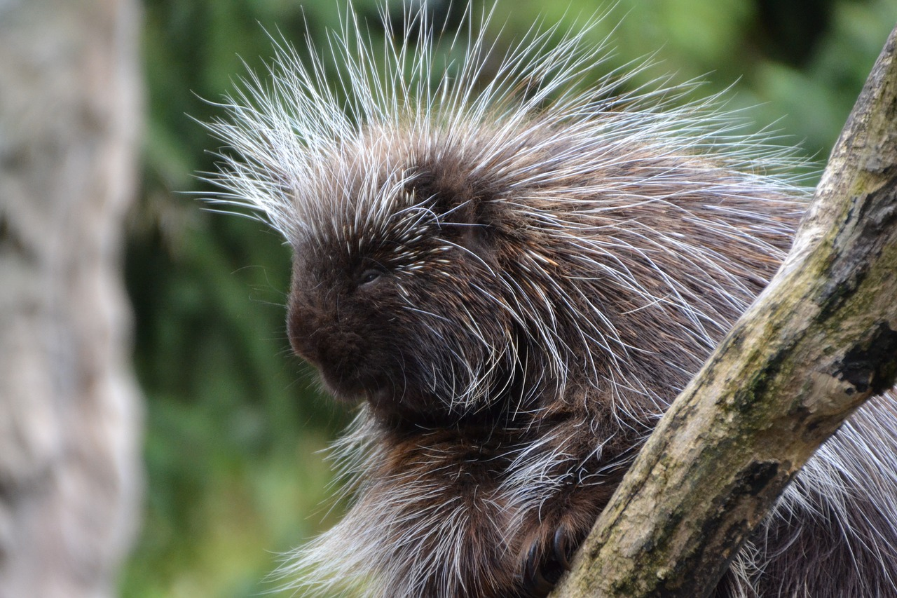 porcupines erethizontidae animal free photo