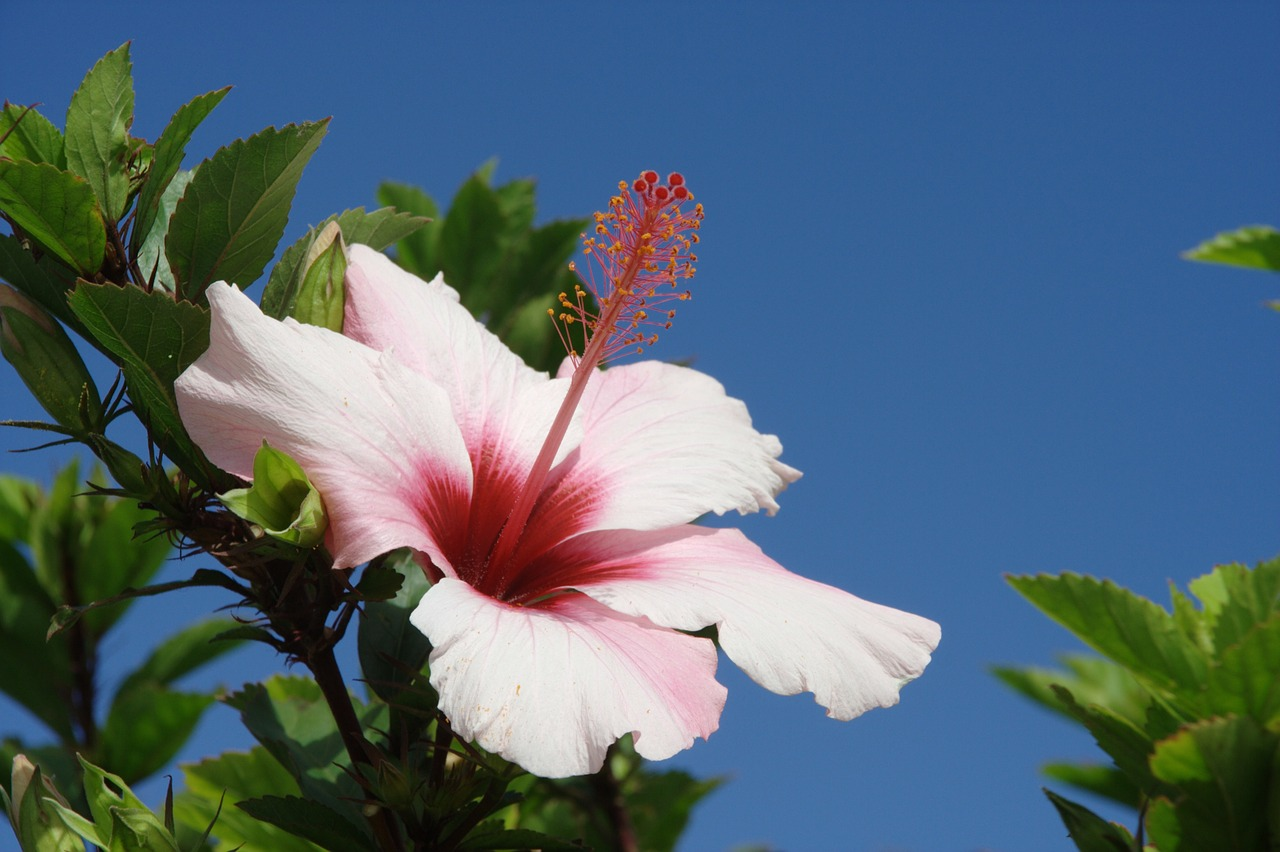 portugal,madeira,porto santo,hibiscus,free pictures, free photos, free images, royalty free, free illustrations, public domain