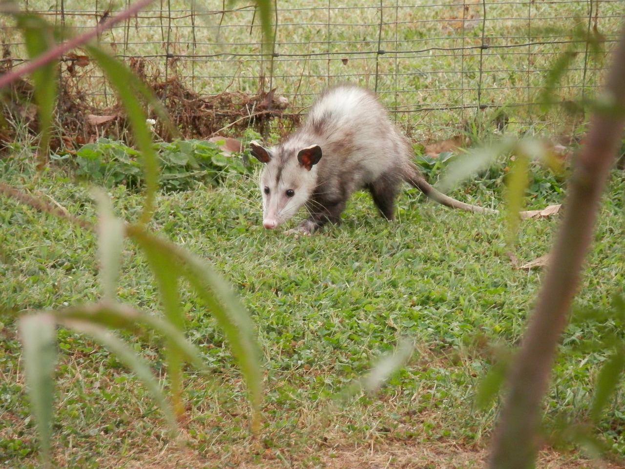 possum opossum marsupial free photo