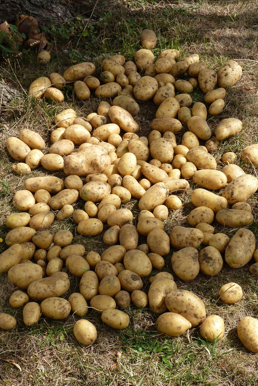 Potato,garden,harvest - free photo from needpix.com