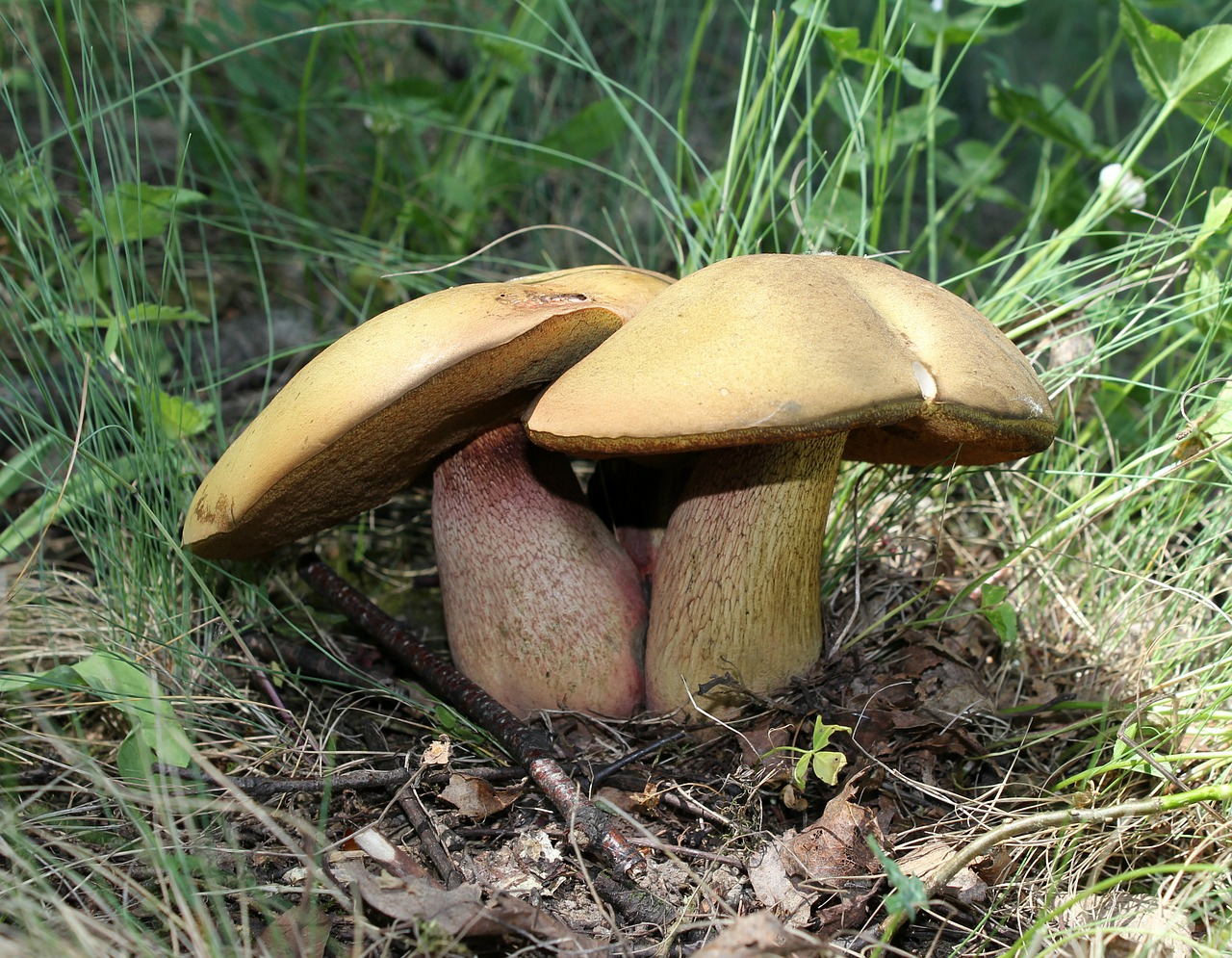 power shaft witches suillus mushroom boletus luridus free photo