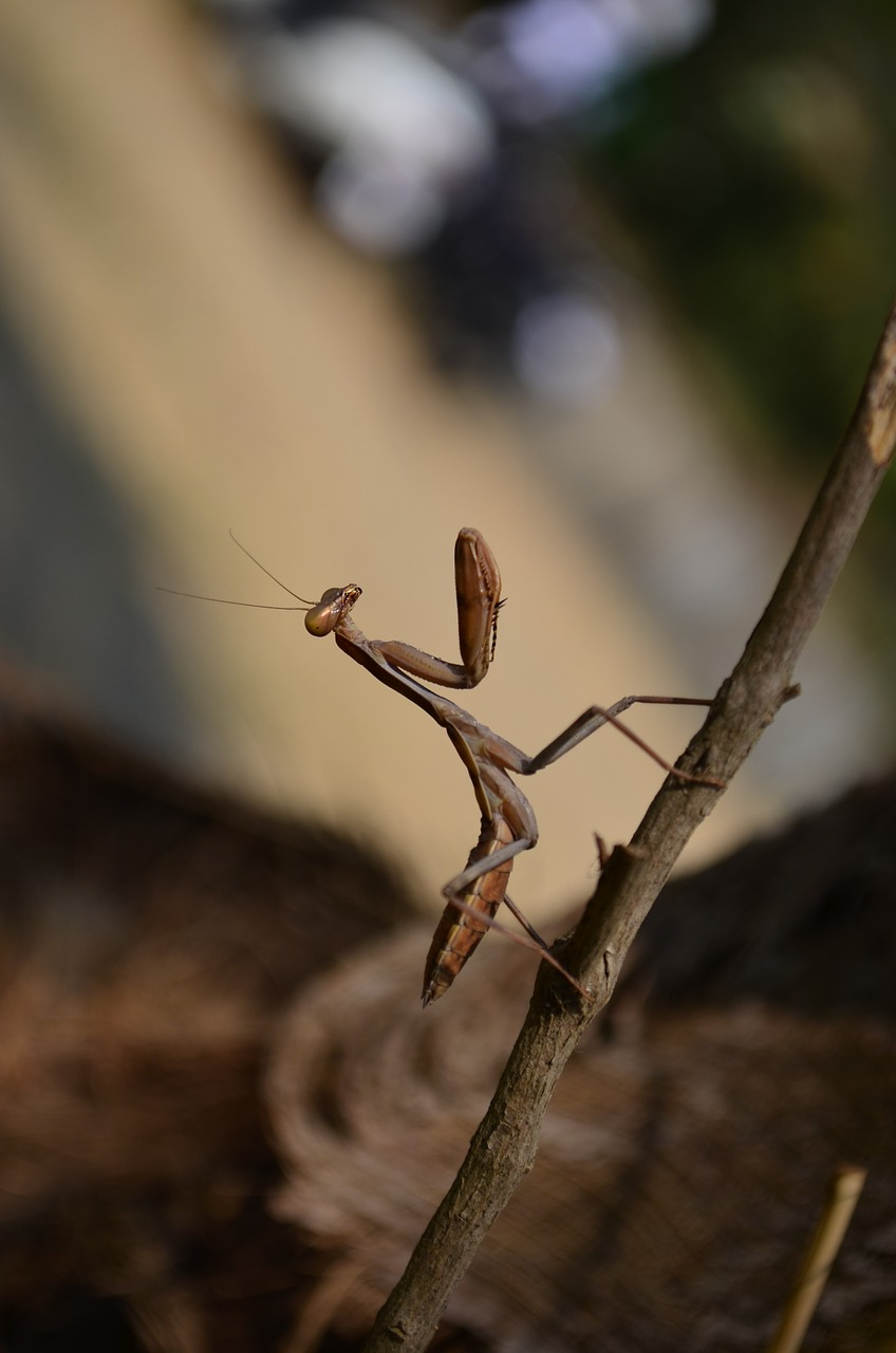 praying mantis insect free photo