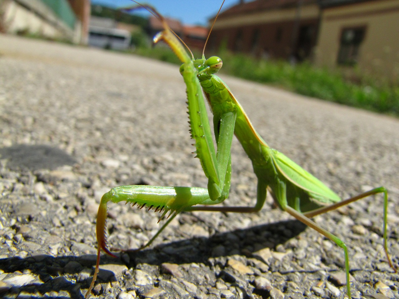 praying mantis animal street free photo