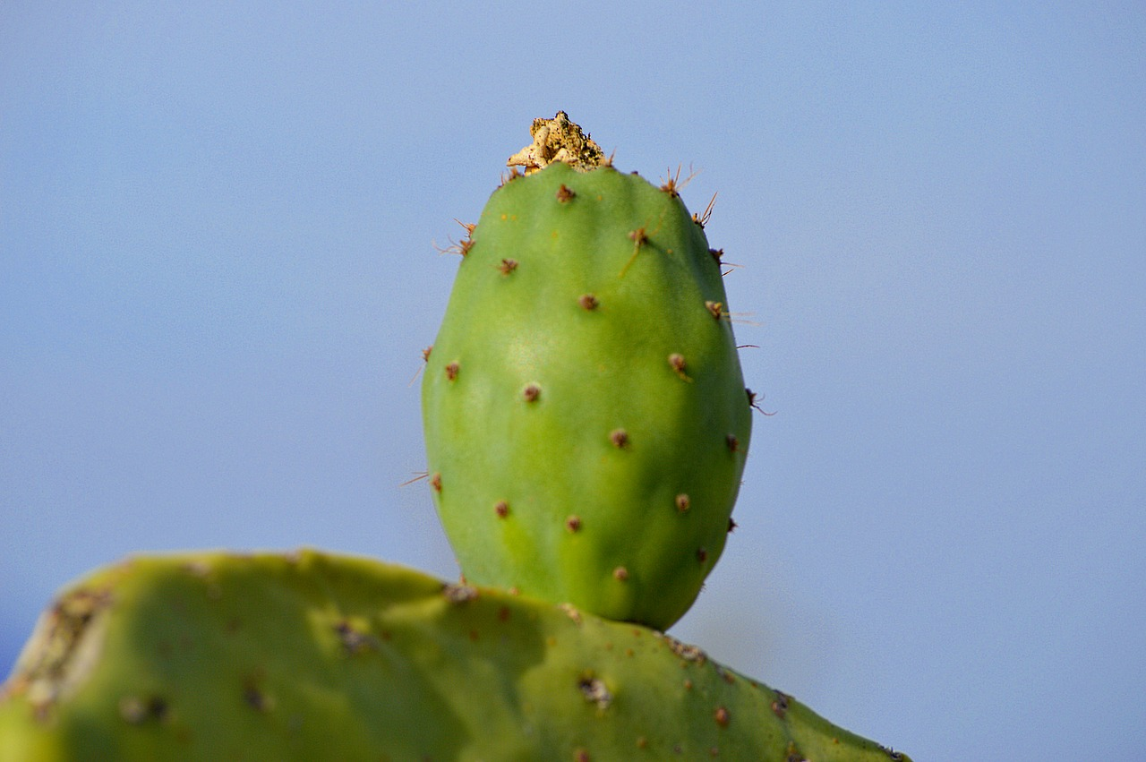 prickly pear chumbo fruit free photo