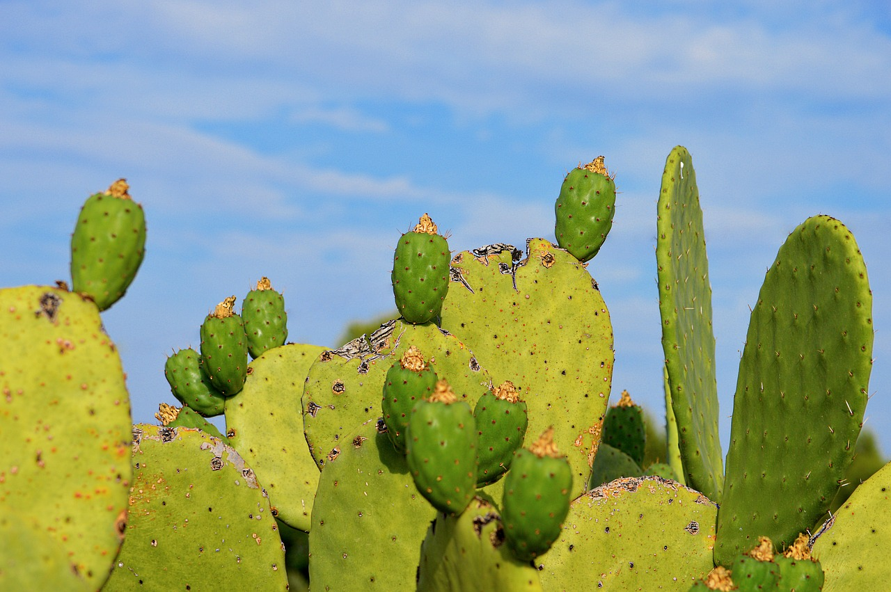 prickly pear prickly pears sweet free photo