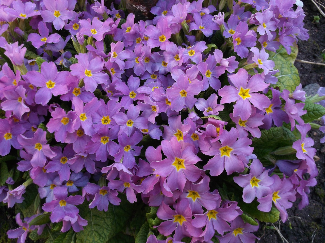 primrose purple flowers purple primroses free photo