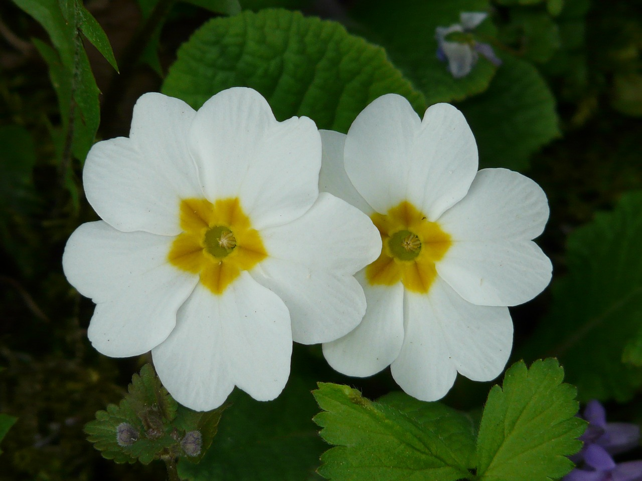 primrose cowslip plant free photo