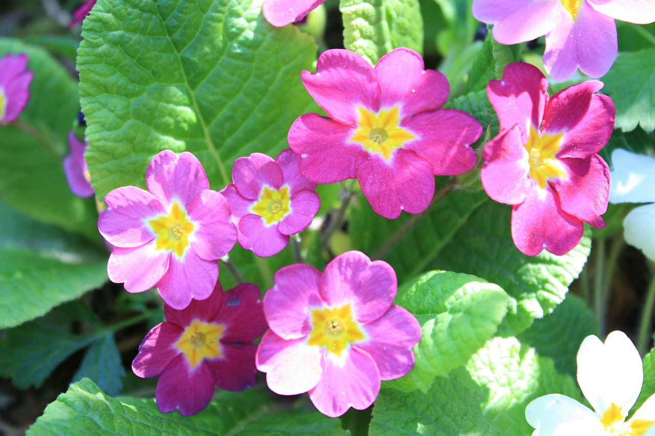 primrose flower blossom free photo
