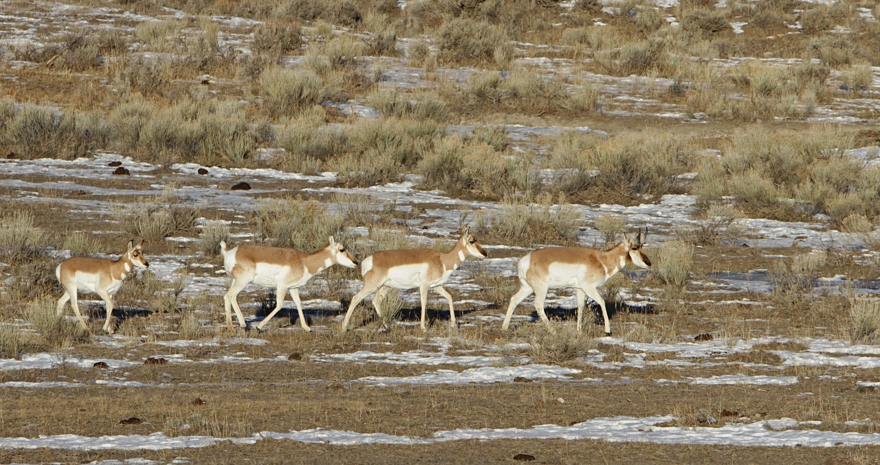 pronghorn herd wildlife free photo