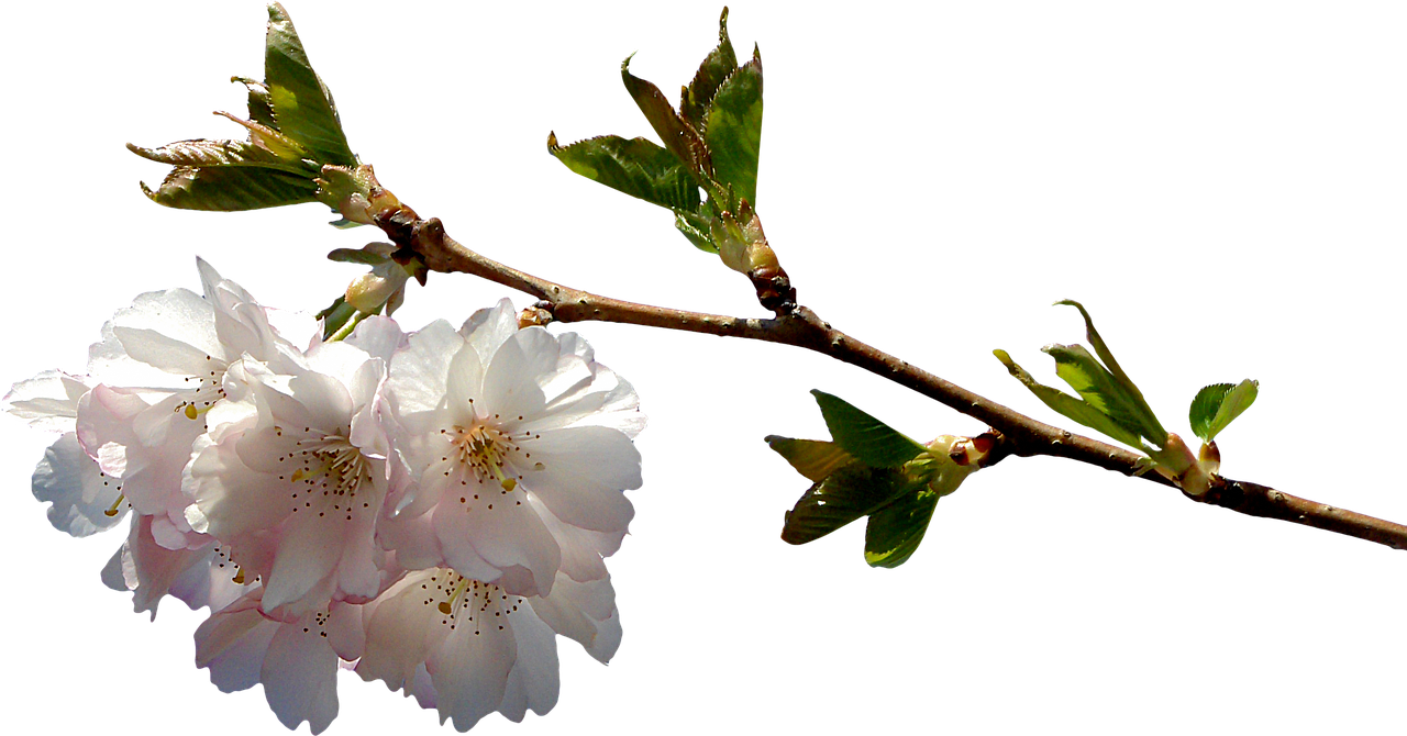 prunus branch png free photo