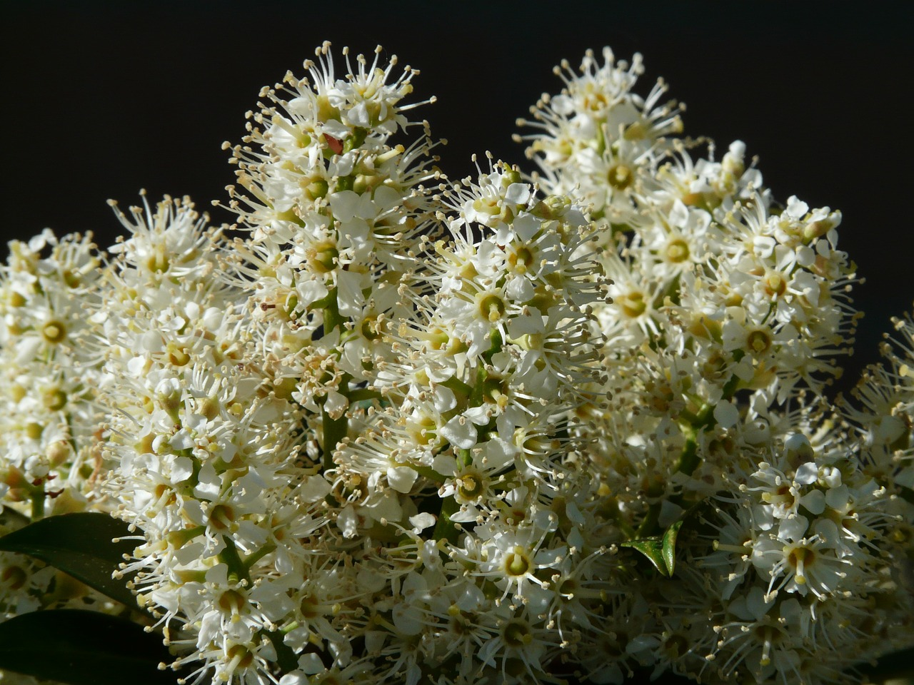prunus laurocerasus bush blossom free photo