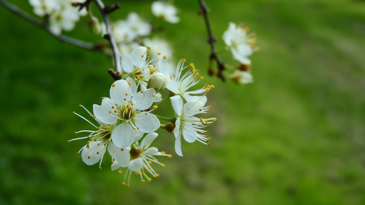 prunus spinosa blackthorn spring flowers free photo