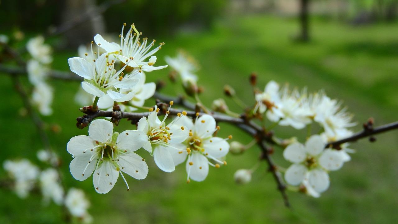 Prunus Spinosablackthornspring Flowerswhite Flowersflowering