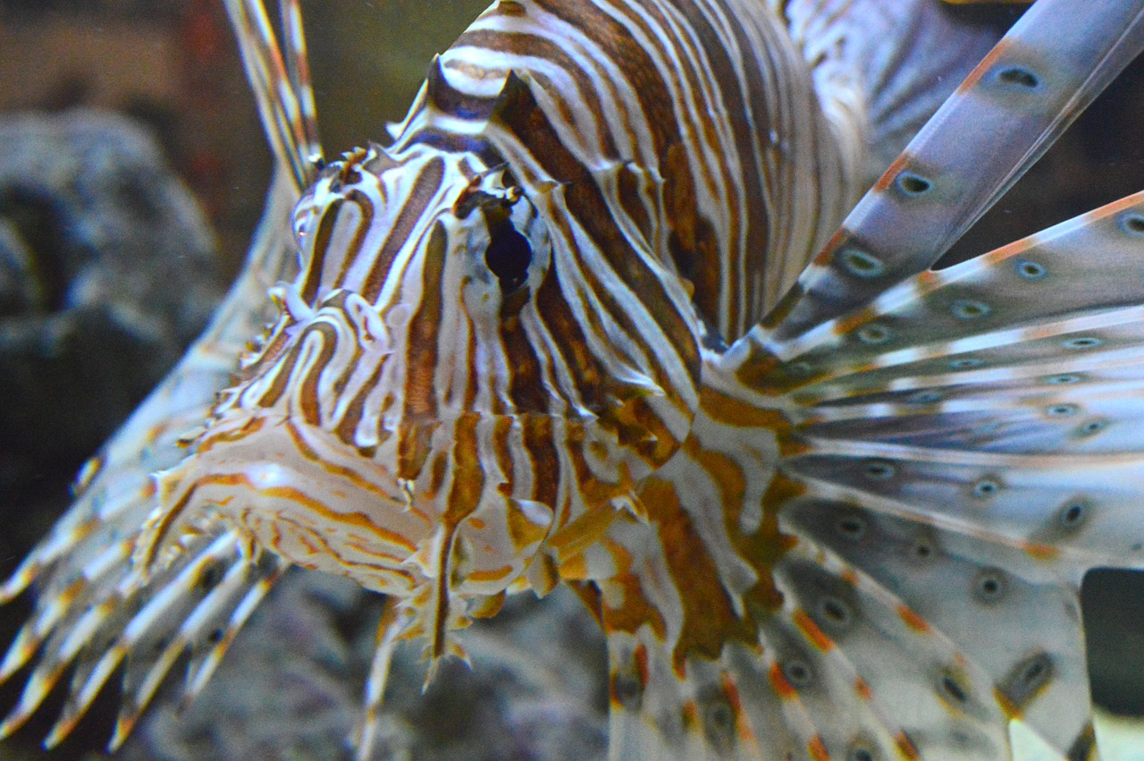 pterois lionfish lion free photo
