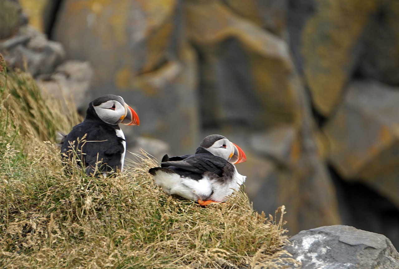 puffin iceland cliff free photo