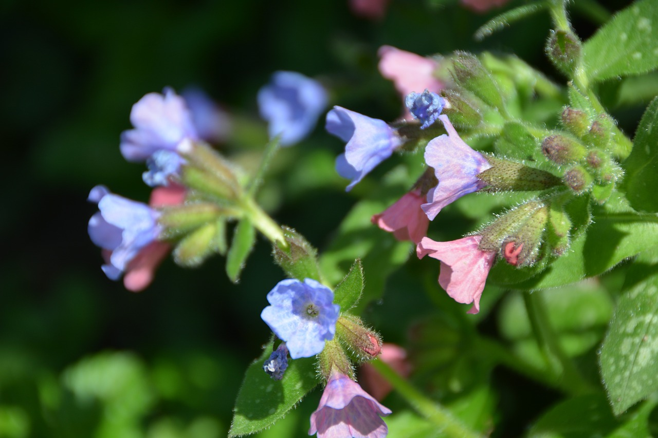 pulmonaria flower lungwort free photo