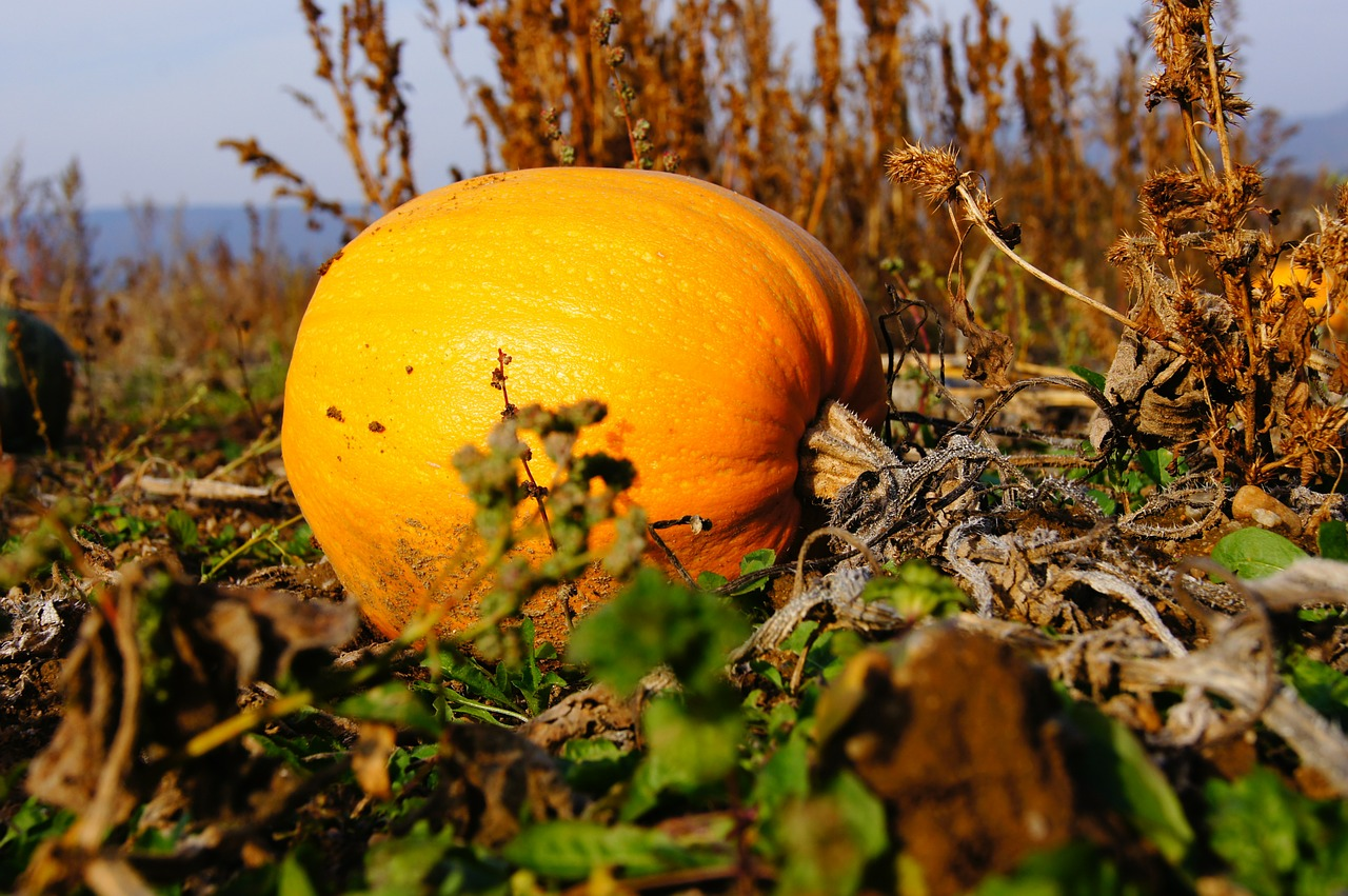 pumpkin autumn halloween free photo
