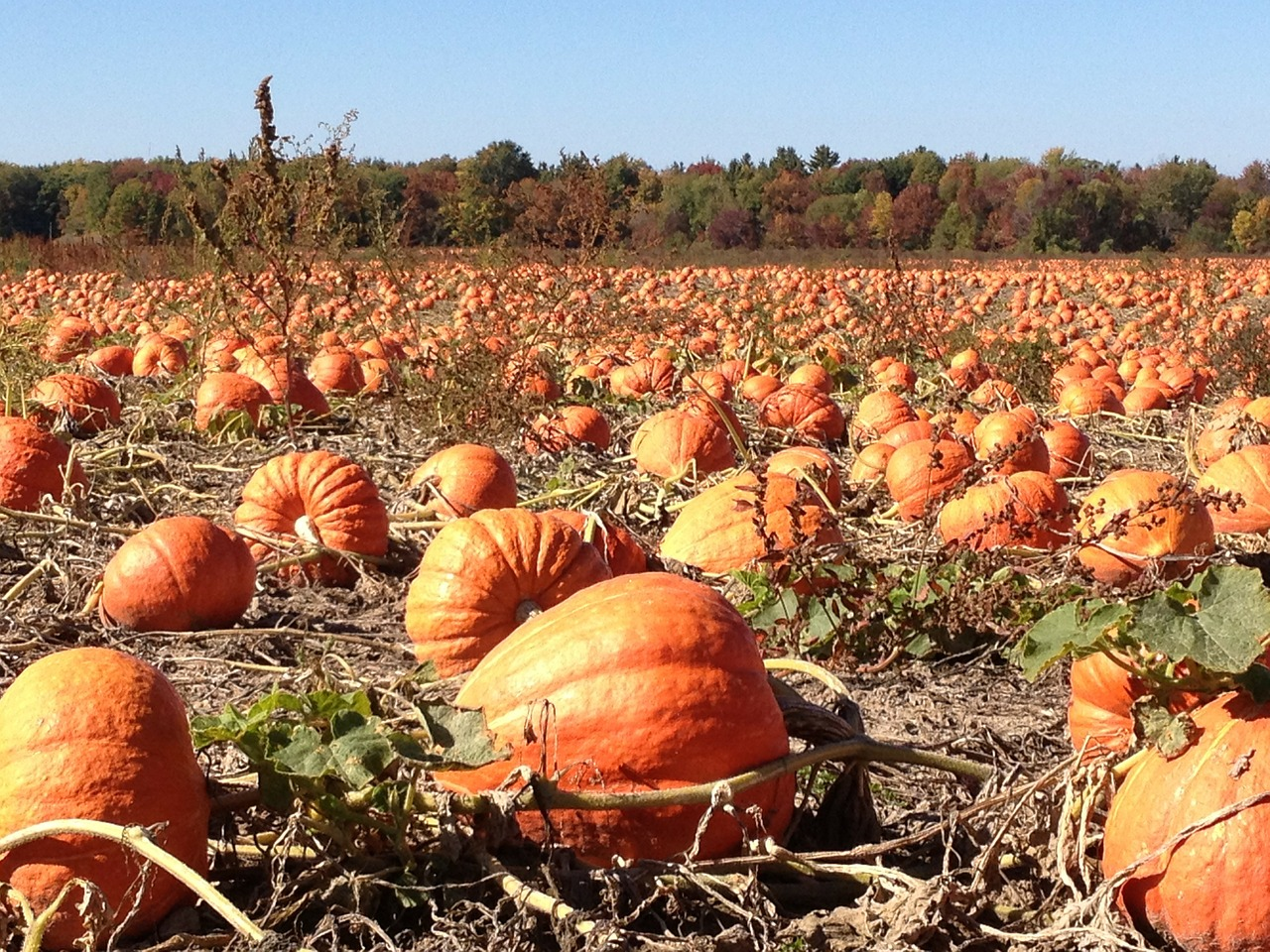 pumpkins field autumn free photo