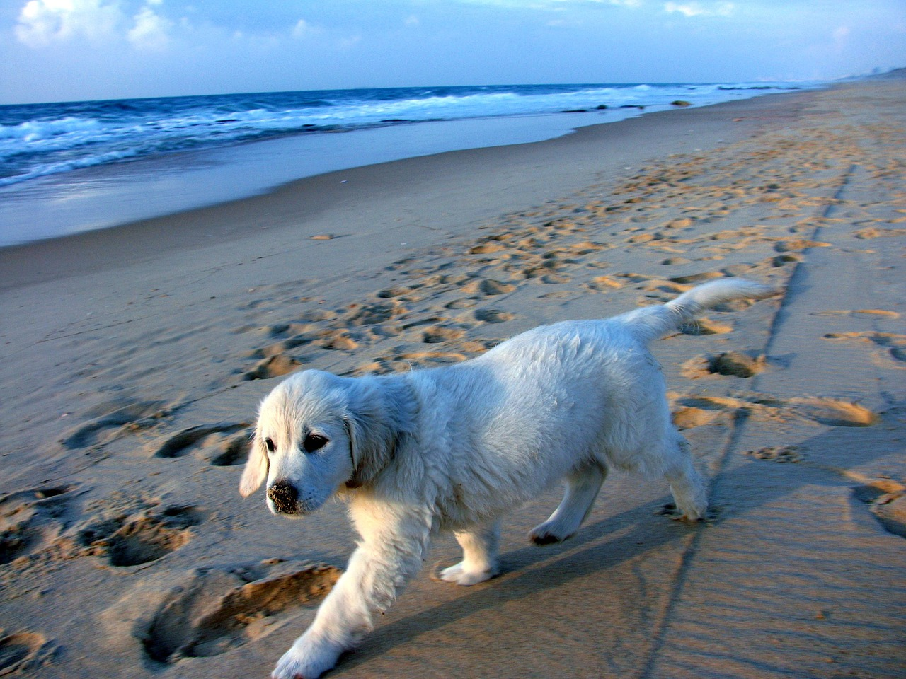 puppy,coast,sand,waves,blue,white,israel,retriever,dog,pet,animal,beach,sea,cute,fun,outdoor,canine,doggy,friend,tranquil,companion,sweet,sky,free pictures, free photos, free images, royalty free, free illustrations