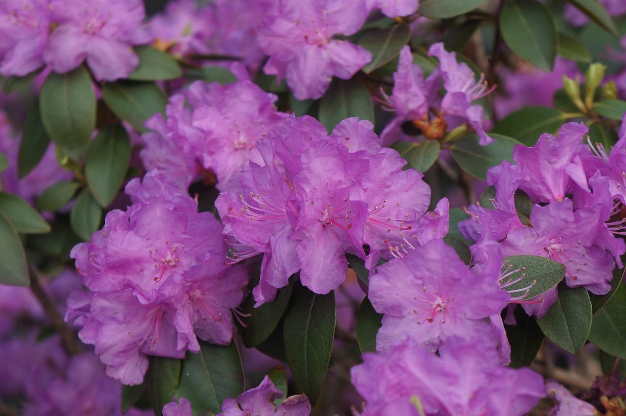 Purpleflowerpurple Flowerbushspring Free Photo From Needpix