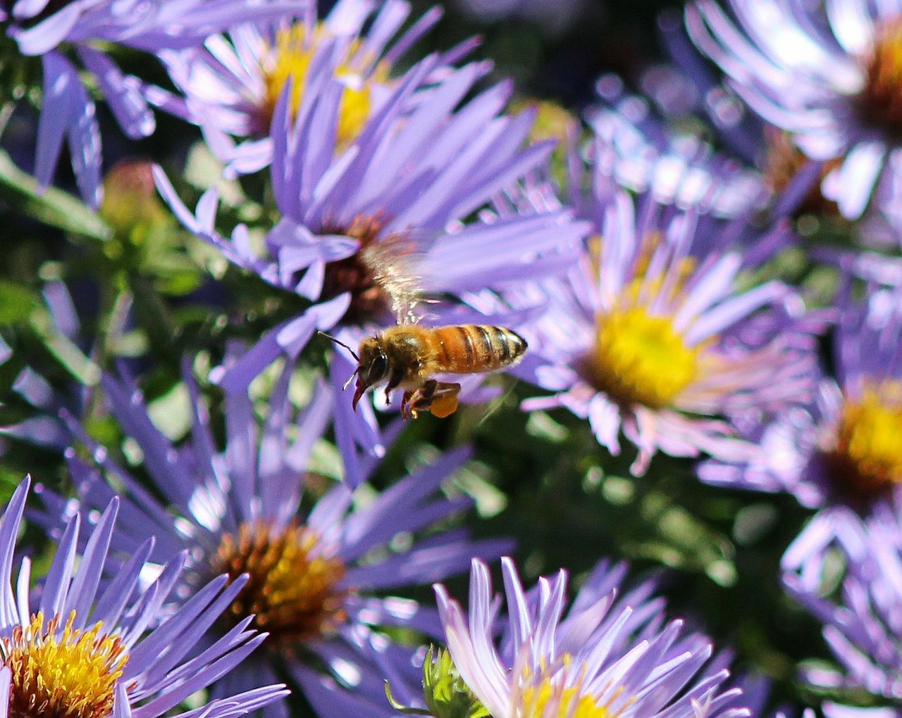 purple asters flowers honeybee free photo
