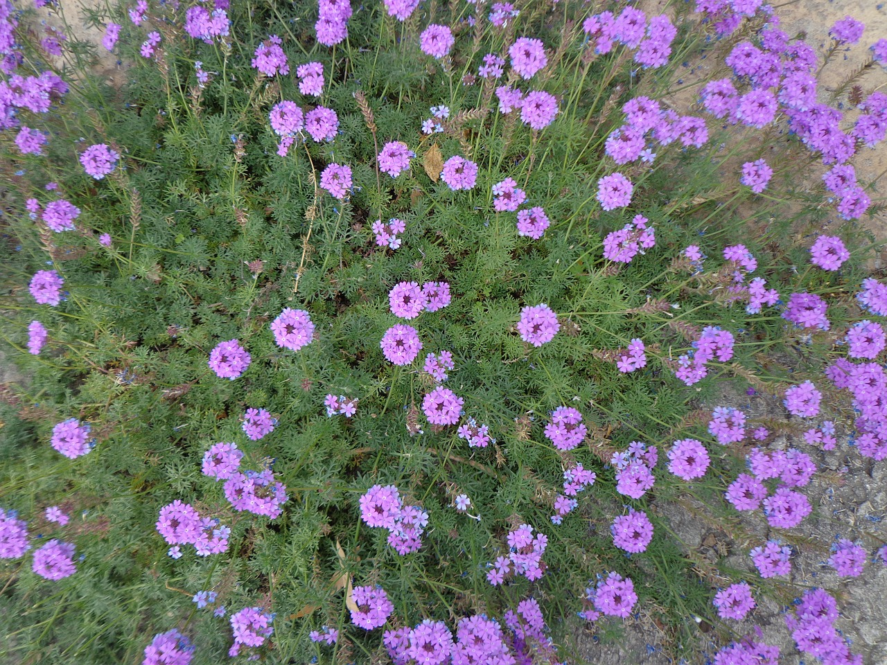 purple flowers floral plants free photo