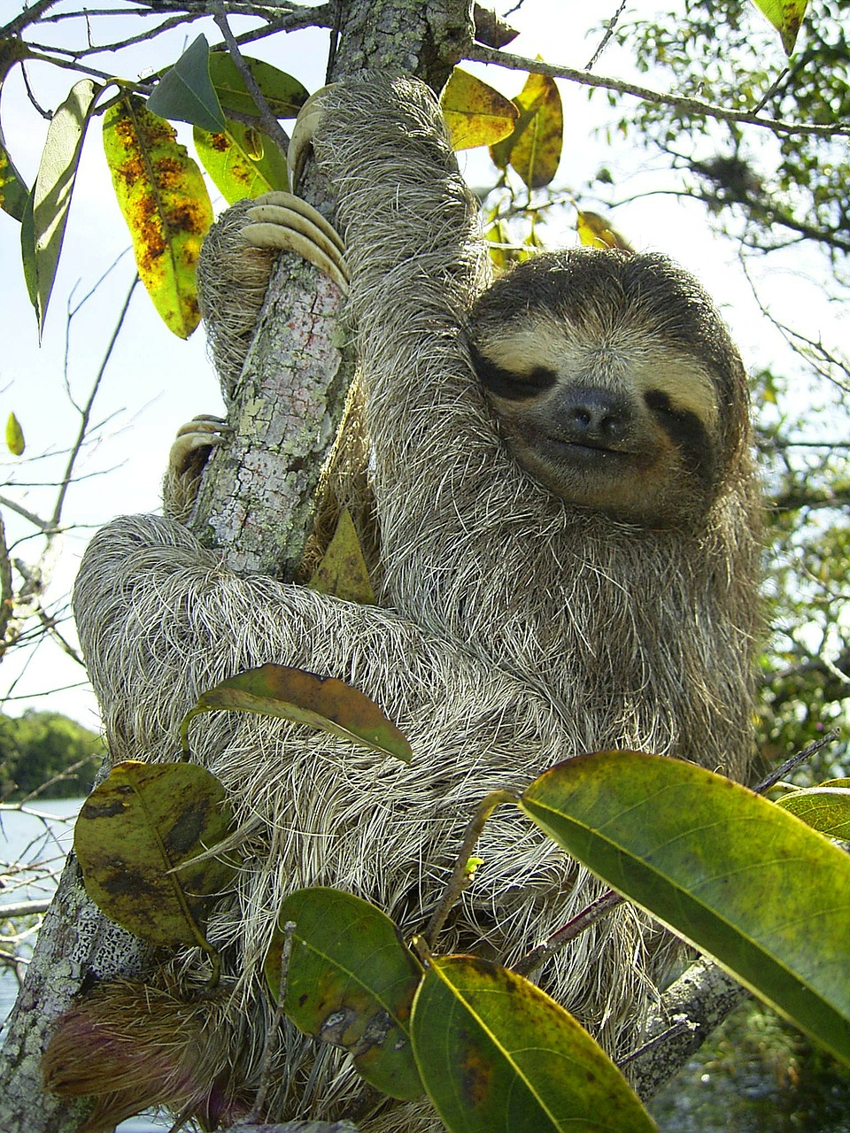 pygmy sloth sloth bradypus pygmaeus free photo