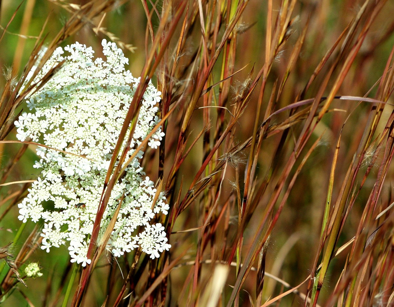 queen ann's lace,grass,seed,fall,autumn,flowers,free pictures, free photos, free images, royalty free, free illustrations, public domain