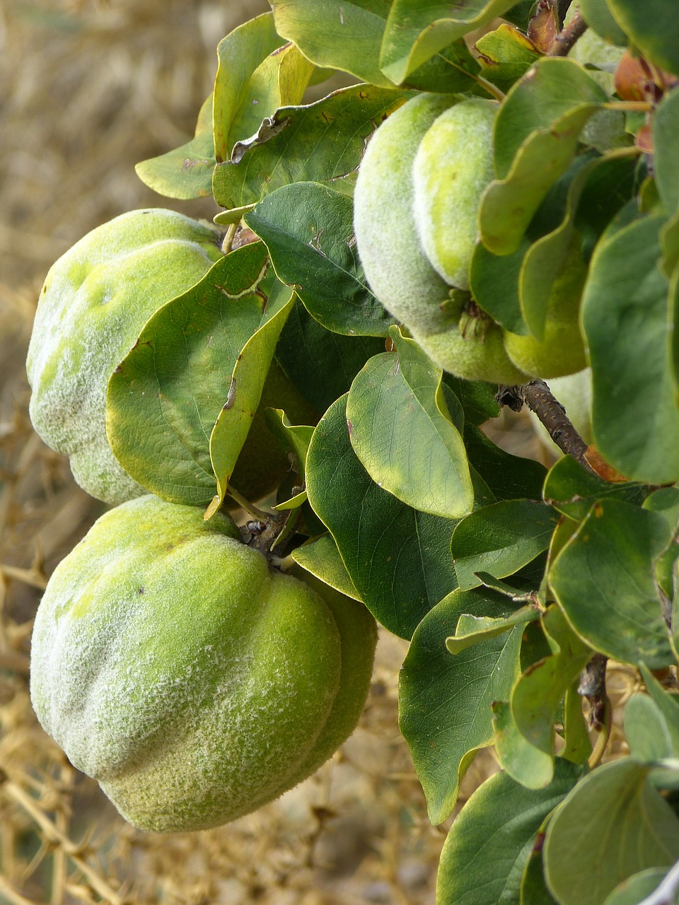 quince fruit plant free photo