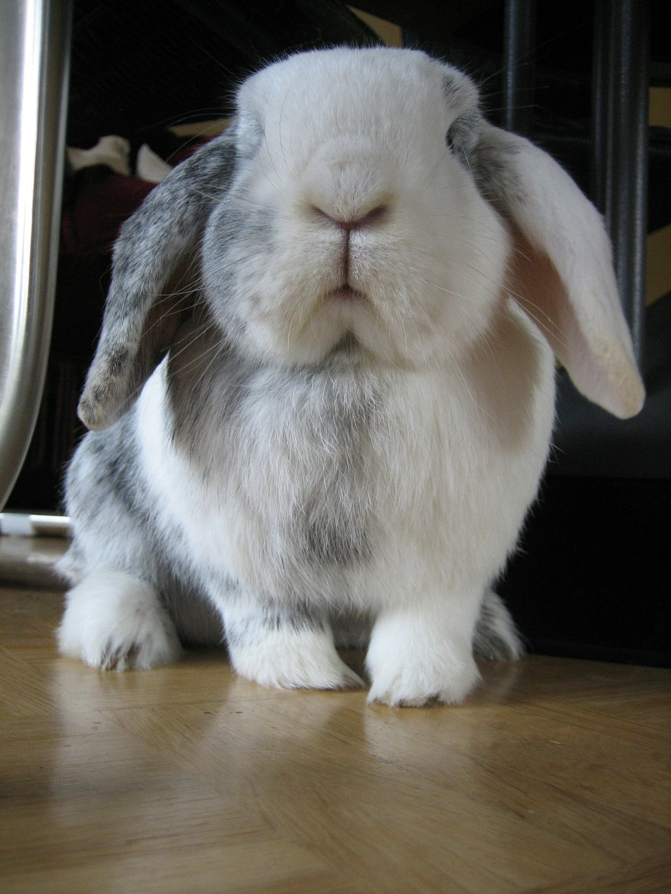 rabbit black and white pet free photo