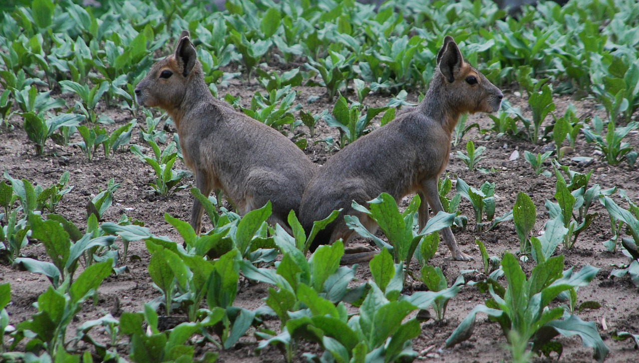 rabbits symmetry sitting free photo
