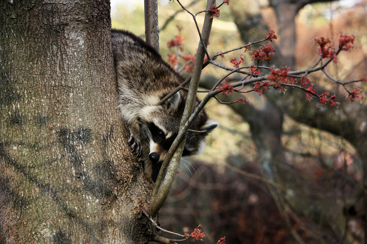 raccoon masked animal free picture