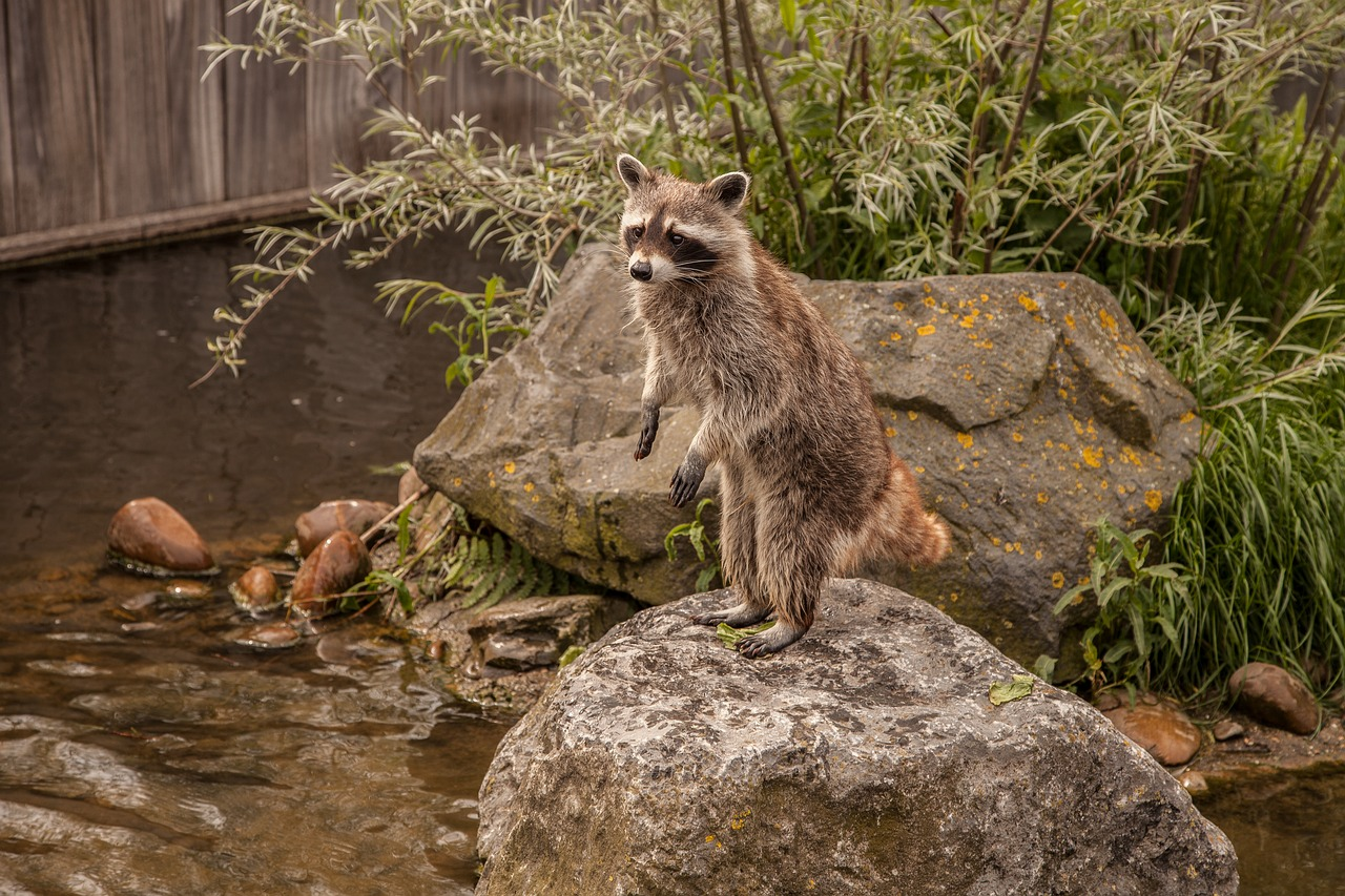 raccoon animal water free photo