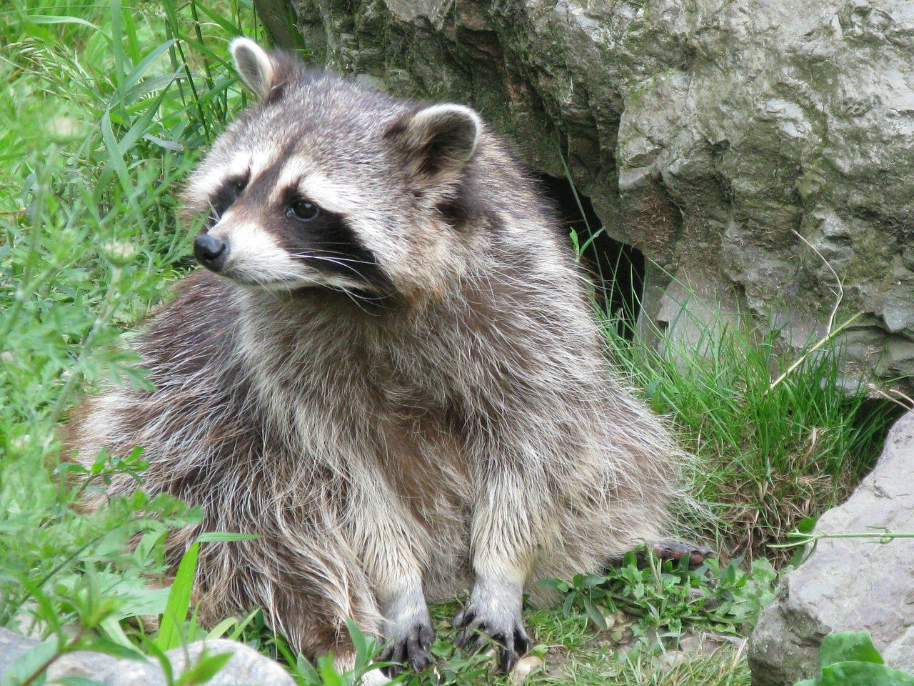 raccoon bear north america free photo