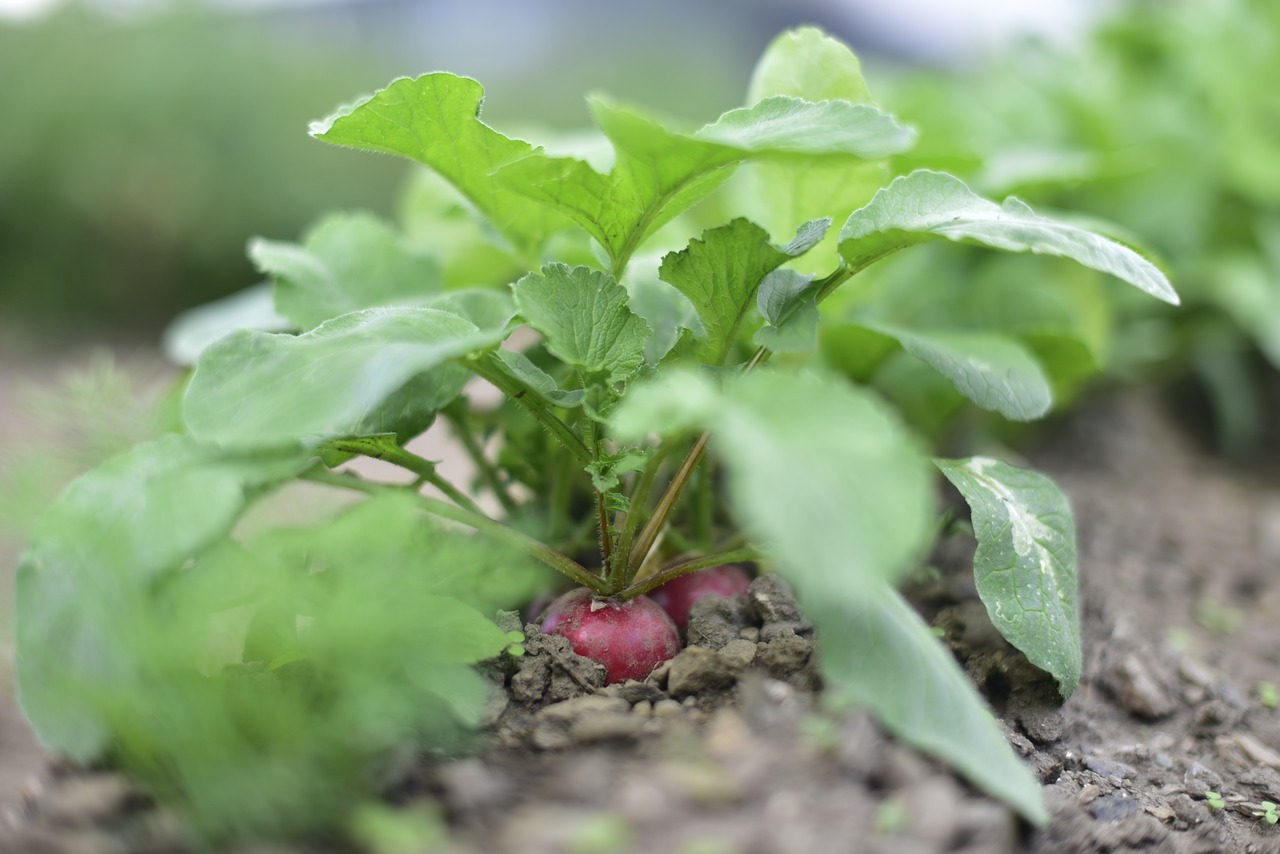 radish  eco-friendly  vegetables free photo