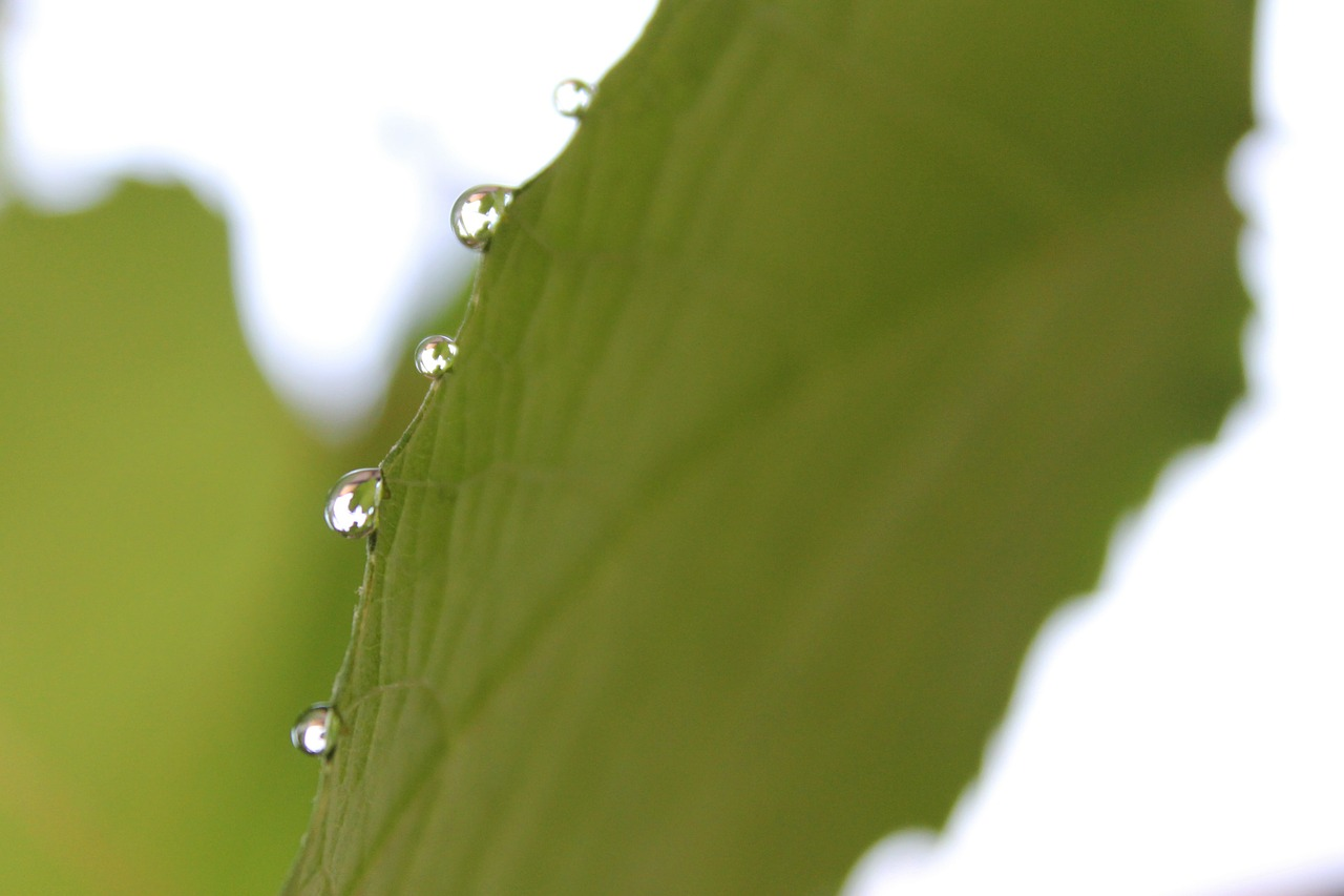 rain drop leaf free photo